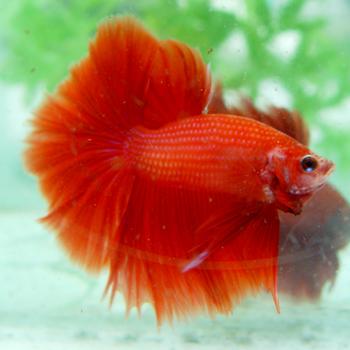 Beternak Ikan Cupang « Agustomank Blog